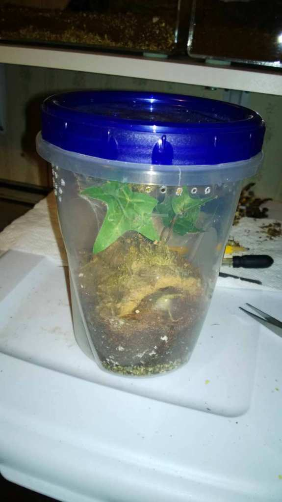 Ziploc container modified to house arboreal tarantula.