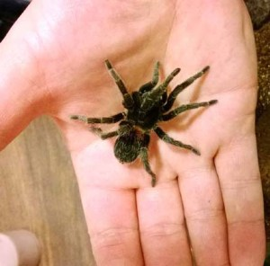 Euathuls sp. red after she crawled out of her enclosure and into my hand. Note: I normally do not handle my Ts