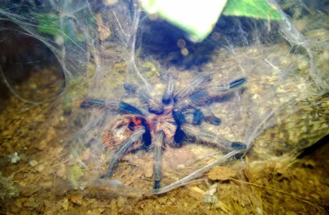 My C. cyaneopubescens after its recent molt.