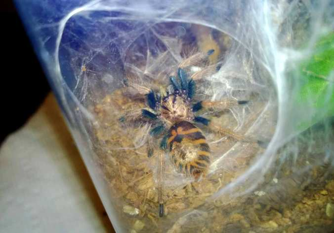 My C. cyaneopubescens before its recent molt