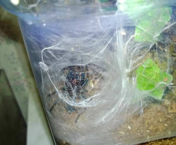 My C. cyaneopubescens on its back during a molt.
