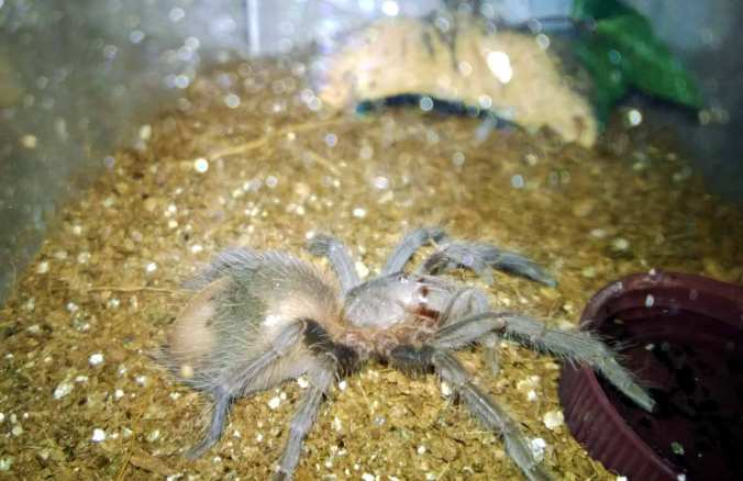 "My 3"" LP female before a molt."