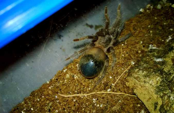 LP one day later. Notice the abdomen has turned much darker. She is definitely in premolt.
