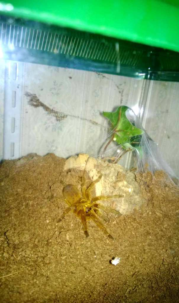 My famale OBT standing outside of her den (it's a rarity to catch her outside)