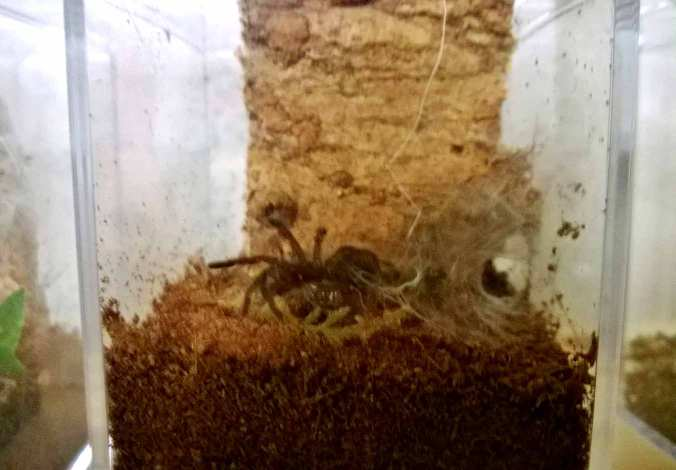 """My P. murinus sling at about 1"""". Notice the chocolaty brown tones."""