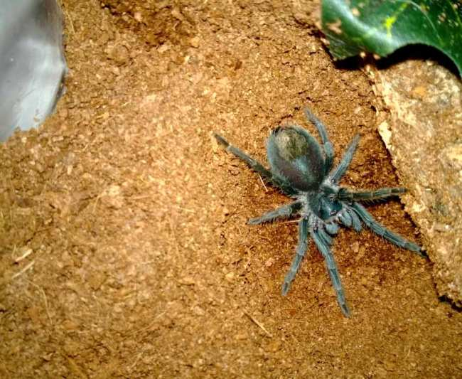 P. cancerides sling 1.75""
