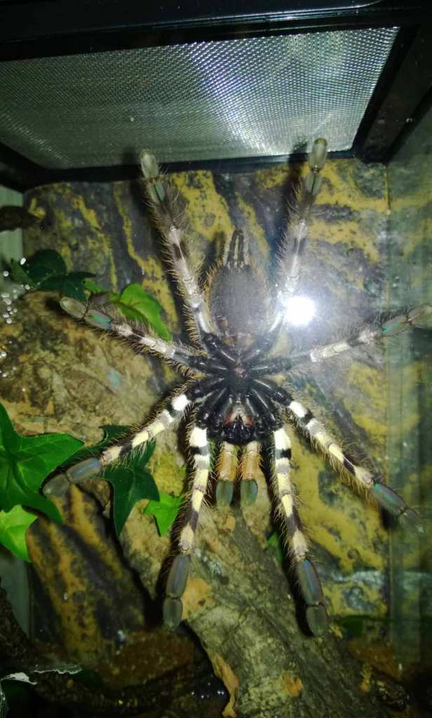 A ventral shot of my P. vittata spread out on her enclosure door.