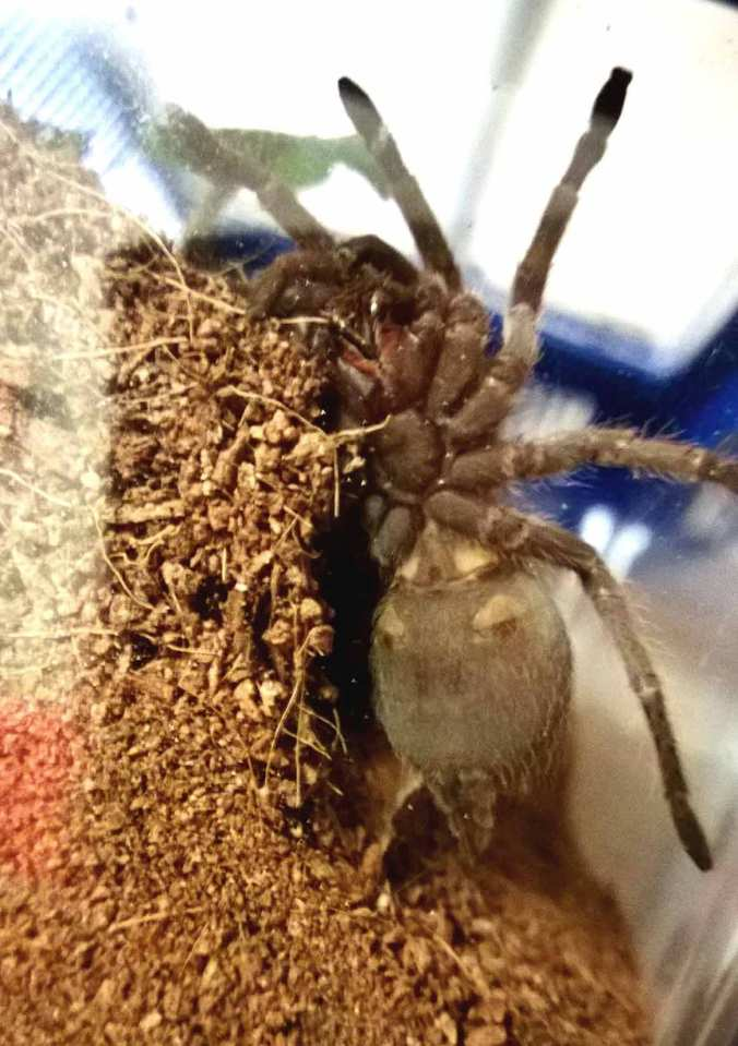 "My 2"" male A. insubtilis shortly after being acquired in February."