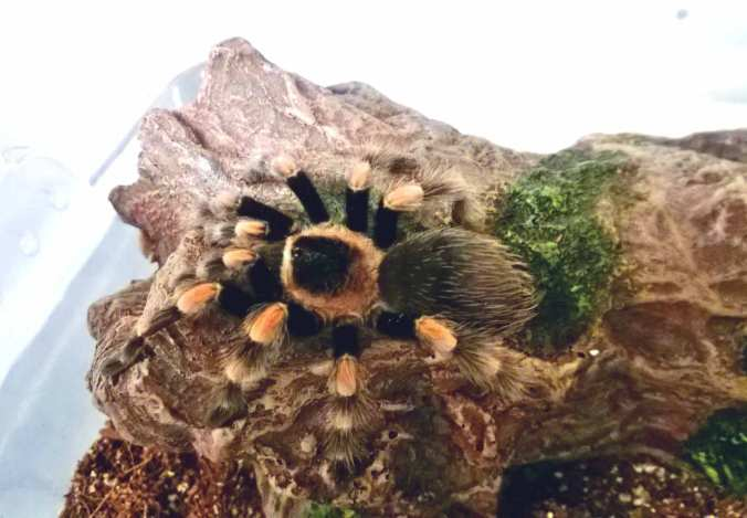My Brachypelma smithi female shortly after I acquired her in December of 2013.