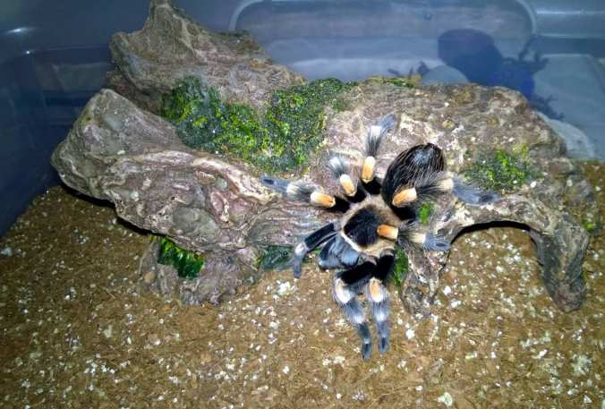 "My 3.5'-4"" B. smithi perched atop its log hide after a recent meal."