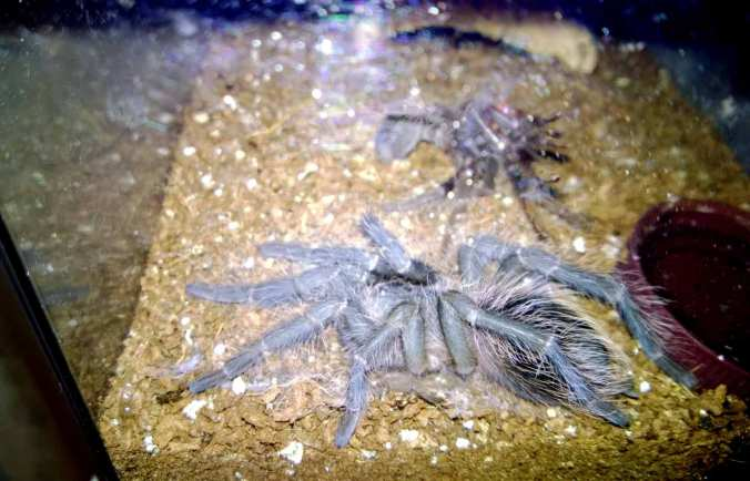 My female LP an hour or so after she completed her molt. Notice the bluish color of her new and not-quite-hardened exoskeleton.