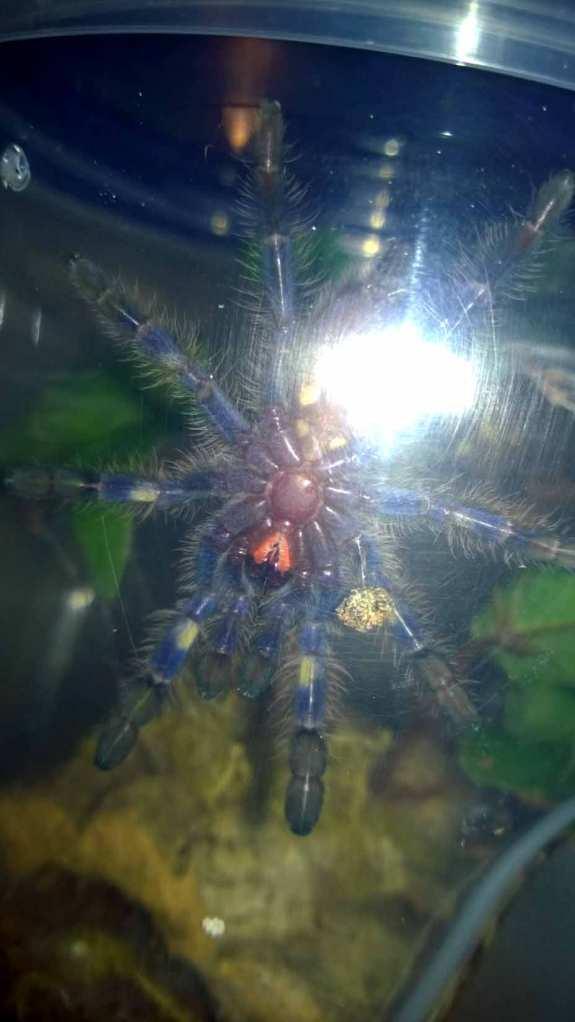 Ventral shot of my P. metallica sling. Despite the poor quality of the shot, you can still make out the yellow banding.