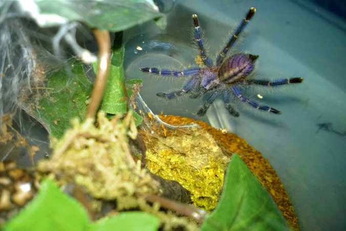 """My 1.75"""" P. metallica sling a week after its last molt. It is finally displaying some of those gorgeous blues it will sport as an adult."""