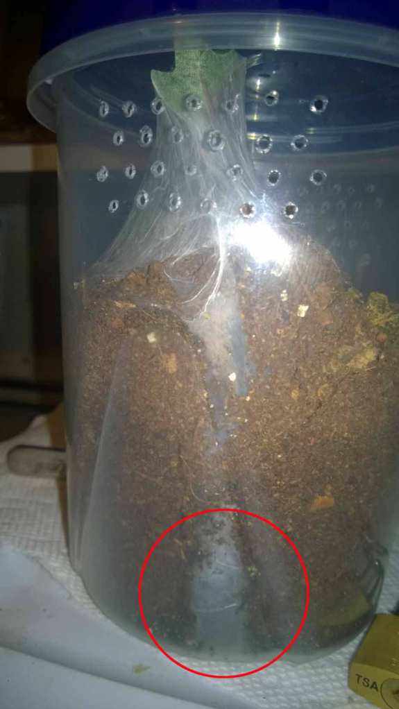 A modified Ziploc container. This H. incei dug a deep burrow; the circle marks the lower chamber.