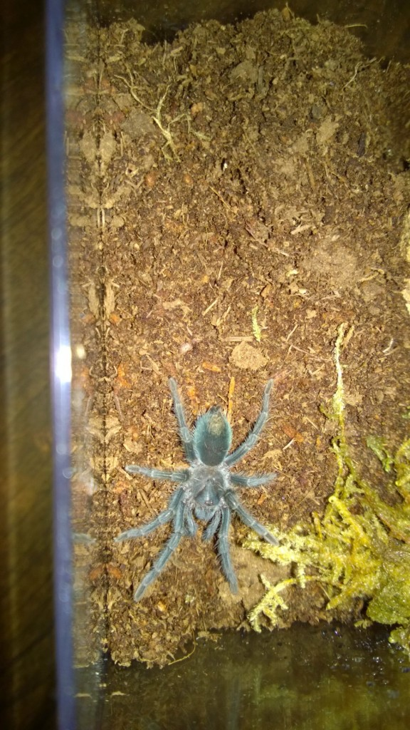 "One of three 1.5"" Phormictopus sp. purple tarantulas I just acquired."
