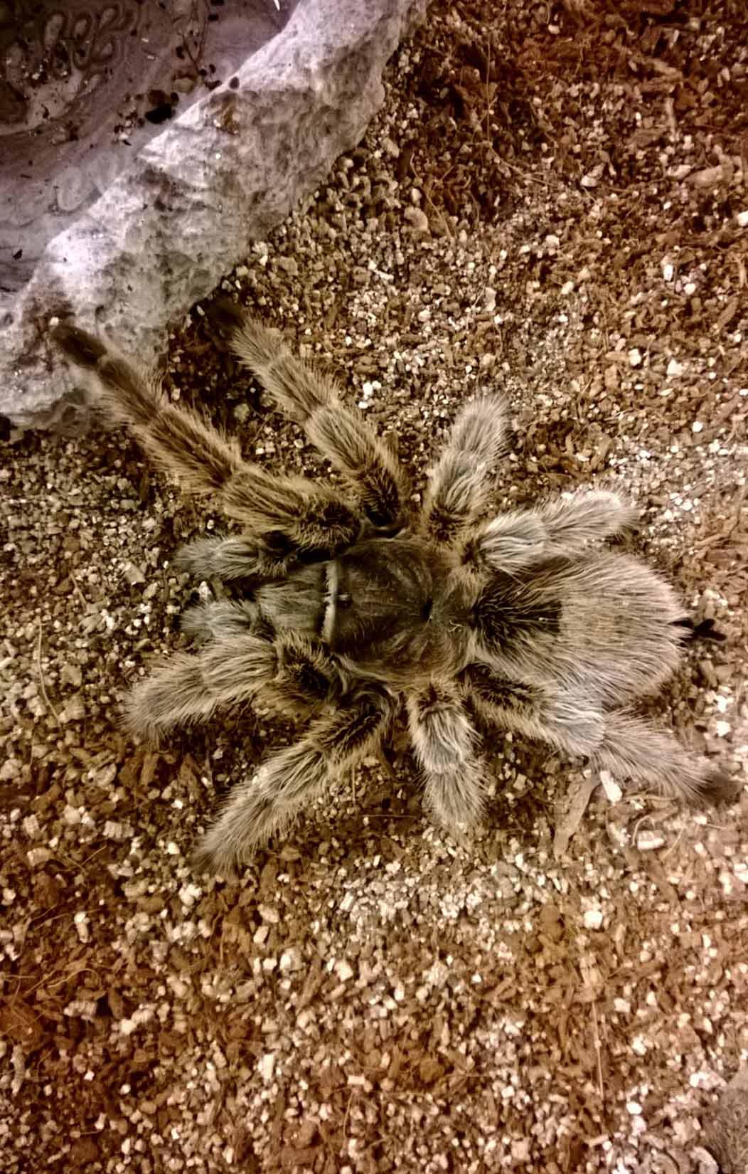 grammastola porteri the rosie care tom 39 s big spiders