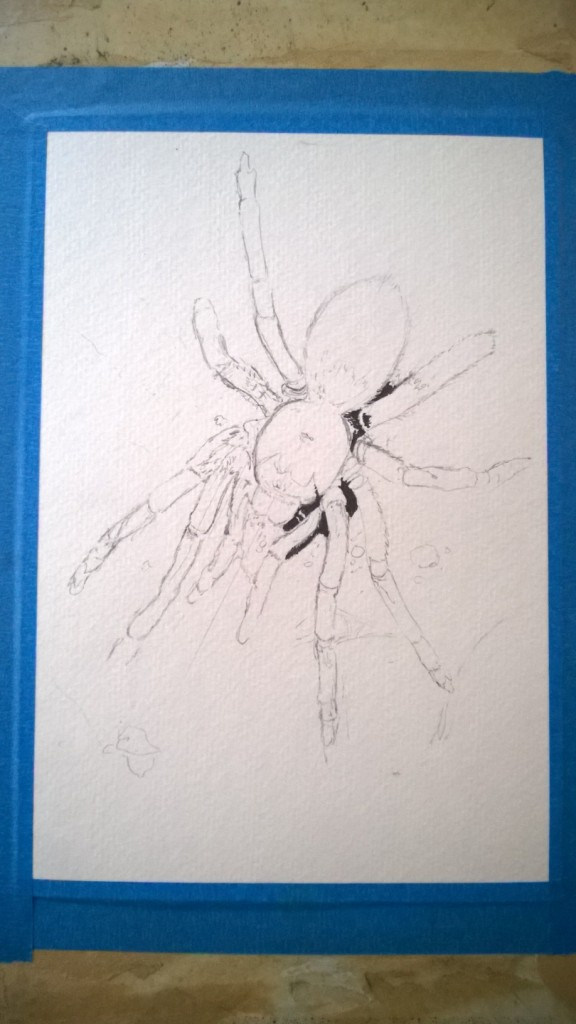 After taping my paper to the drawing board, I used pencil to sketch out the general shape of the tarantula.