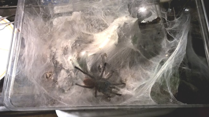 My young adult female's enclosure. Notice the copious amounts of webbing.