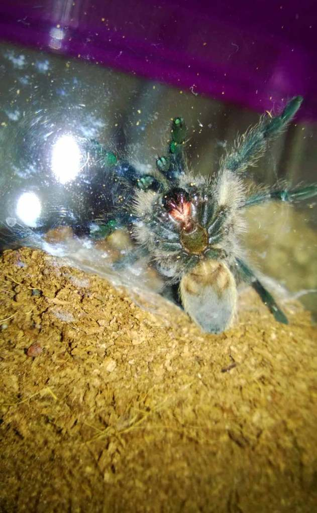 This juvenile is showing some of the gorgeous blue on its legs after a recent molt.