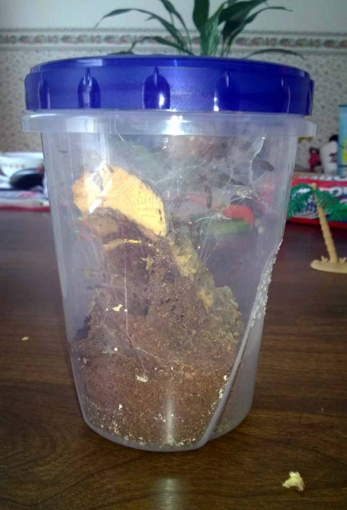 "This is the modified Ziploc plastic container I use to house my 2.5"" P. regalis juvenile. He will likely get rehoused after his next molt."