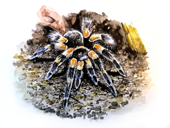 Watercolor painting of a B. smithi tarantula.
