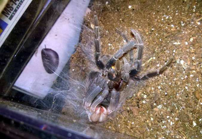 My female LP during a recent molt. Notice the molt mat on the left hand side of the photo.