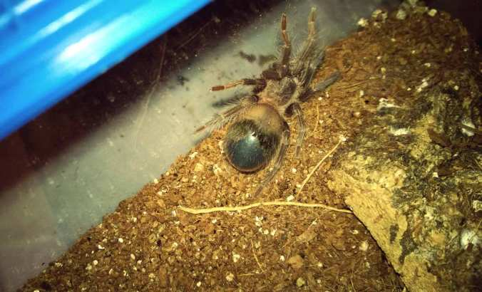A female LP in premolt. Notice the shiny abdomen. This is particularly noticeable as she has kicked all the hair off. Also, the abdomen is very dark.