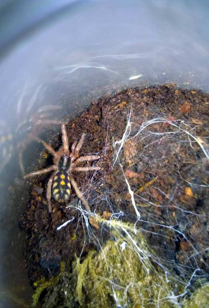 One of my three Hapalopus sp. Columbia large slings.