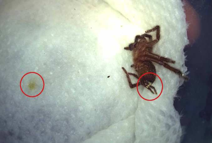 A dead H. villosella sling. Notice the white around the anus, and the yellowish spot that formed beneath the corpse (likely feces loosened by the moist towel.