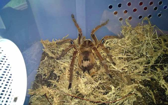 My new T. stirmi shortly after being housed.