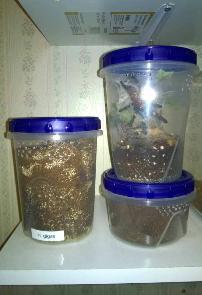 Modified Ziploc storage containers. These are very versatile and can be used to house burrowing, terrestrial, and arboreal Ts.