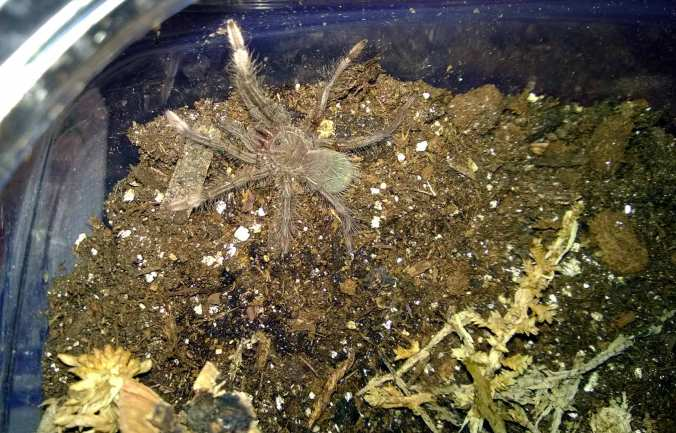 "My new 1/5"" T. stirmi sling."