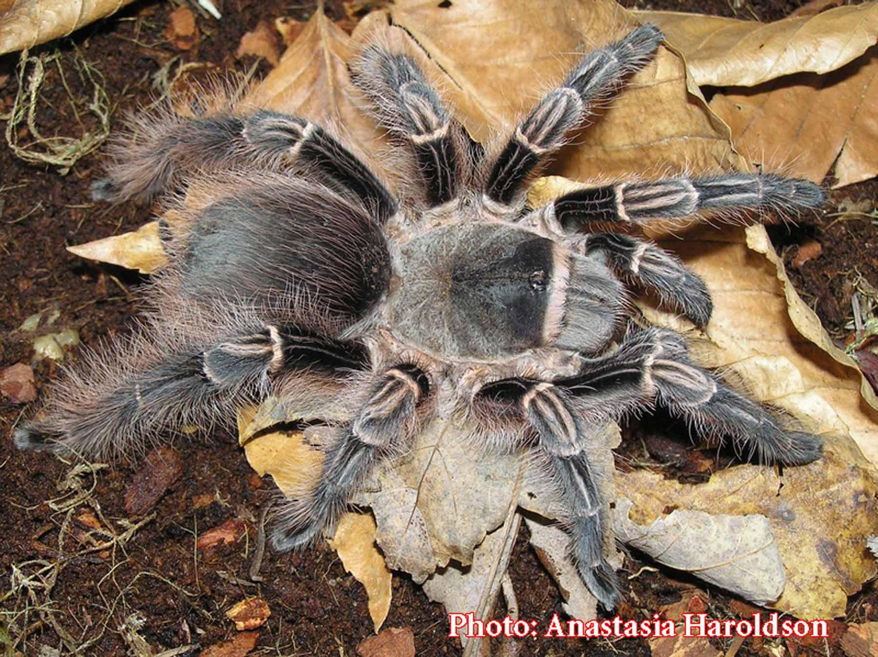 The Best Tarantula Species for Beginners | Tom's Big Spiders