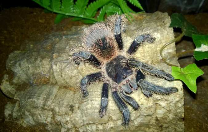 My sub-adult Lasiodora itabunae (suspected male).
