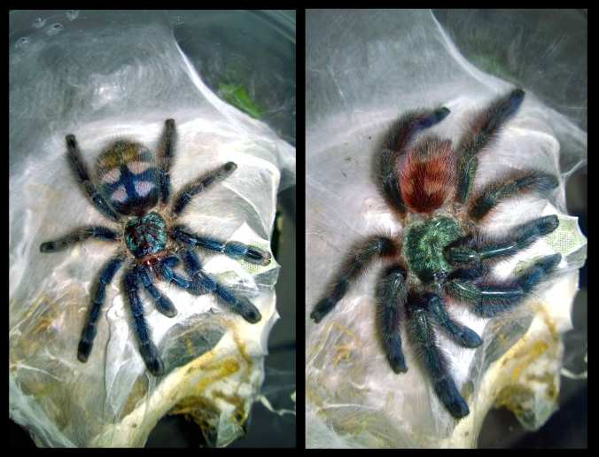 These pics were literally snapped about 12 hours apart. Obviously, there was a molt in between.