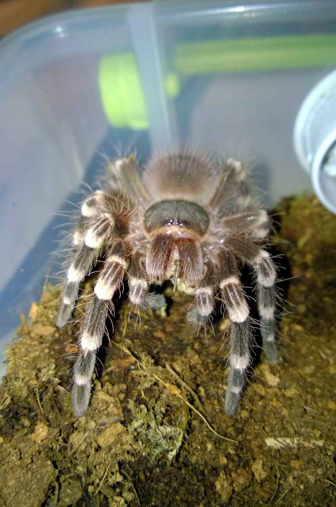 My A. brocklehursti (Pet Trade) munching on a cricket.