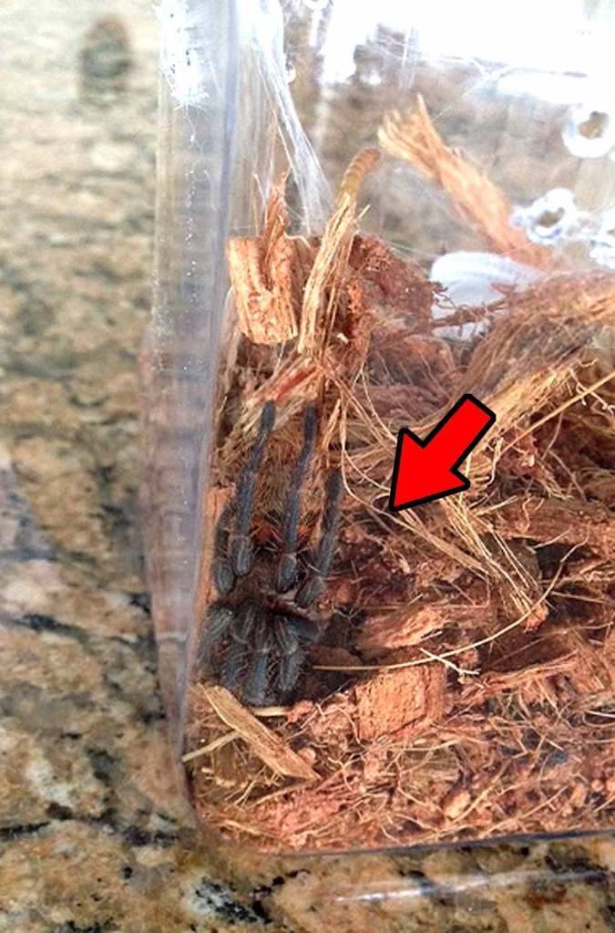"This tarantula is not in a ""death curl"", but is bringing it's knees up over its head because it's stressed after a rehousing. A special thanks to Caroline Dellinger for letting me use her photo!"