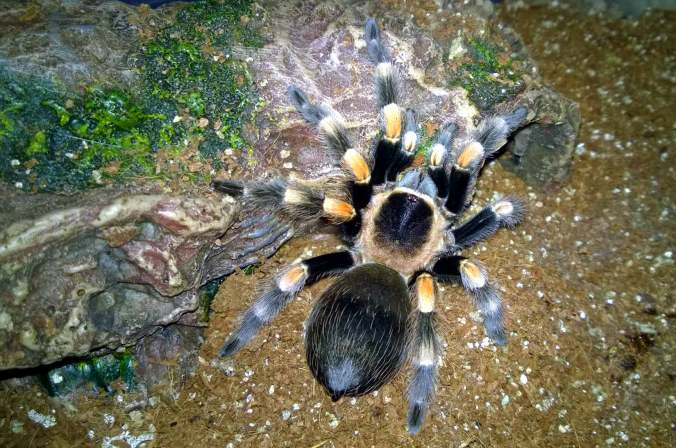 Female B. smithi