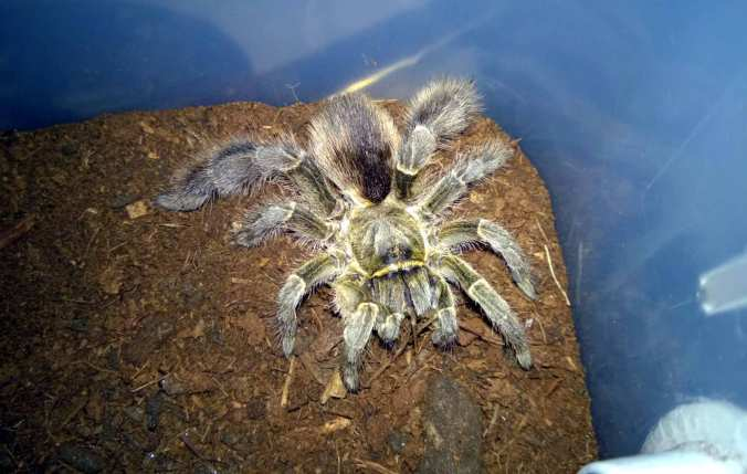 My young adult female E. pachypus.
