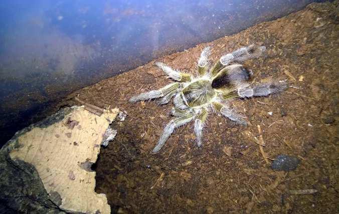 My female E. pachypus
