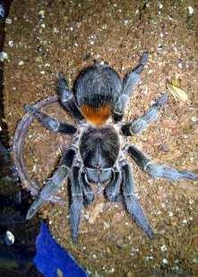 Euathlus sp. red