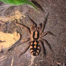 Hapalopus sp. columbia large