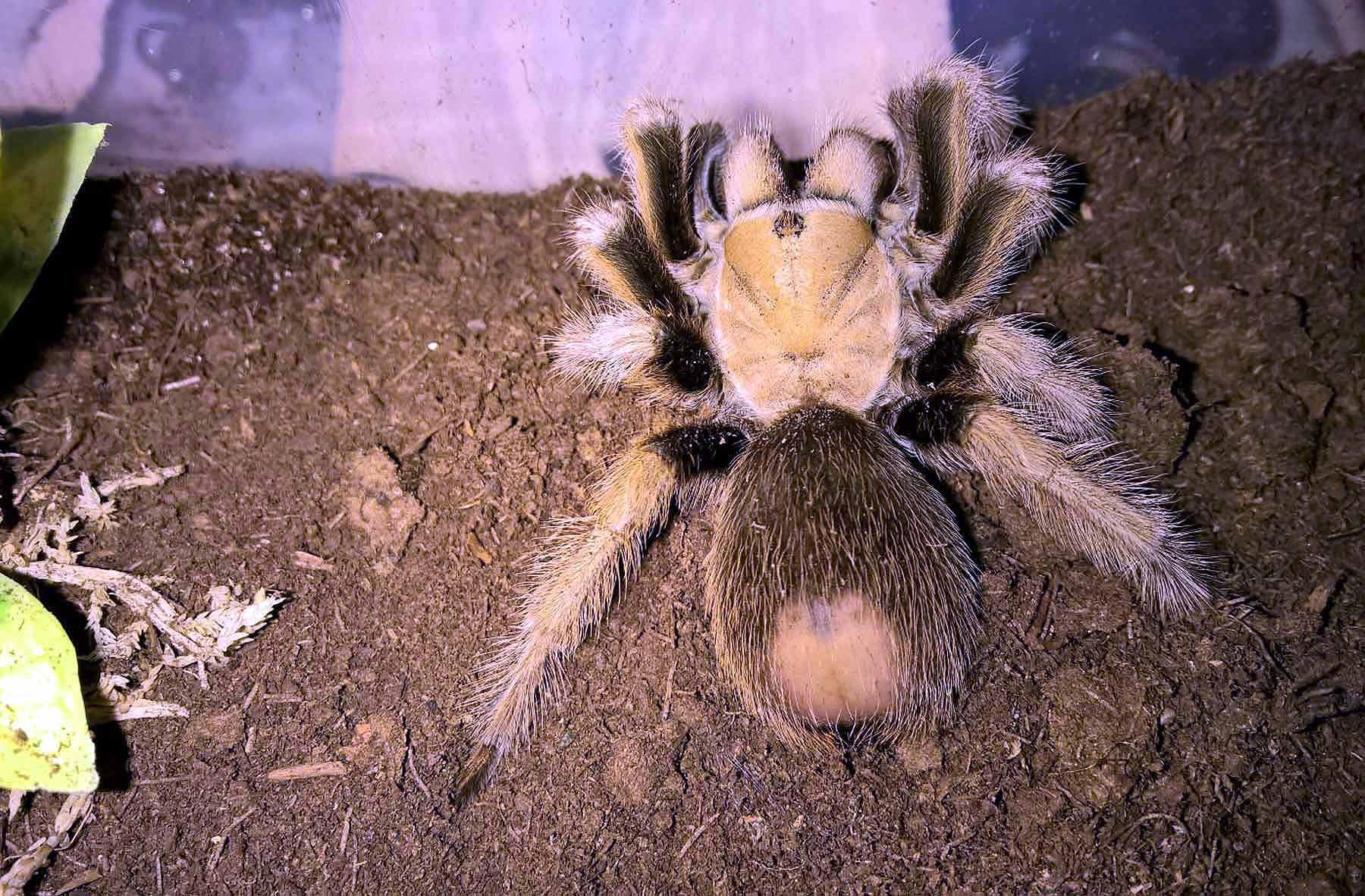 Aphonopelma Chalcodes The Desert Blonde Tom S Big Spiders