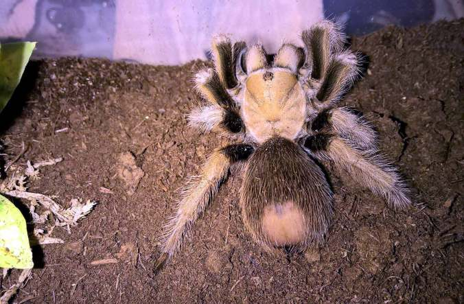 A-chalcodes-WEB