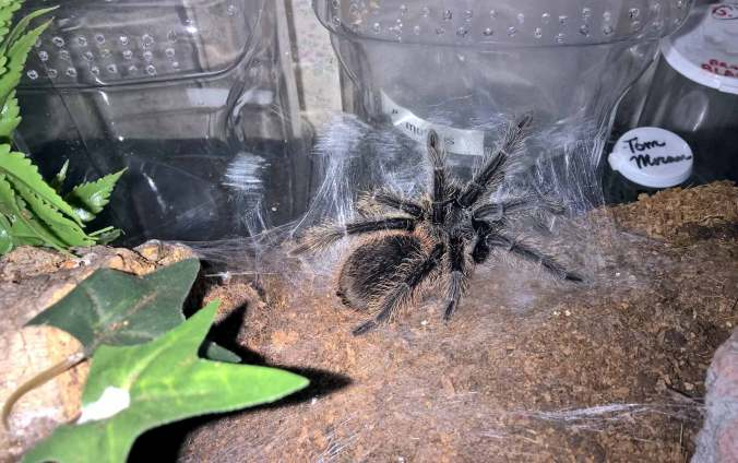 My L. itabunae laying down a molting mat.