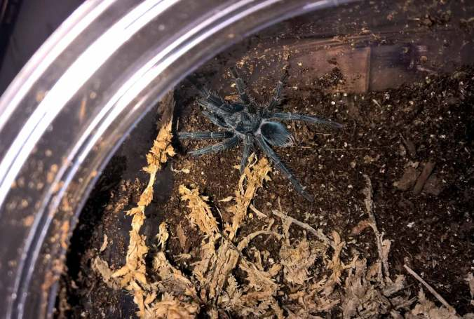 P. atrichomatus sling from NERD