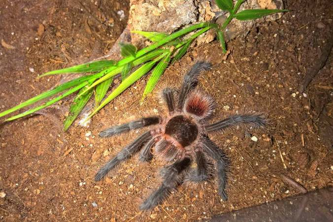 My female G. iheringi after a recent molt. Notice her tiny abdomen.