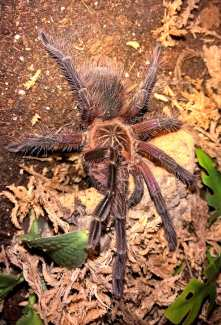 Pamphobeteus sp. duran