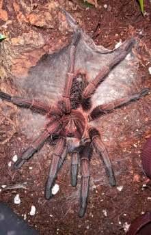 Phormictopus sp. purple