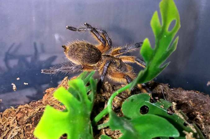 H.-pulchripes-NEWEST